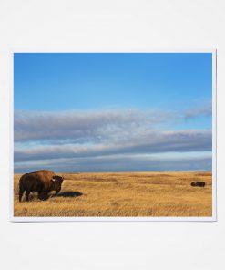 Bison in North Dakota